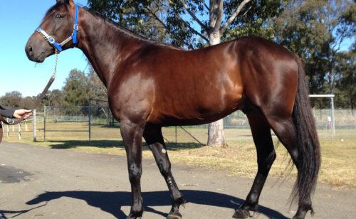 Stallion's first Australian winner