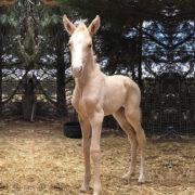 Miss Ed – the ultimate designer foal
