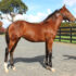 Magnificent weanling consignment in Karaka Sale